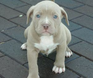 pitbull and puppy image