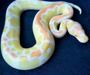 snake and ball python image