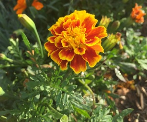 flower, marigold, and nature image
