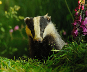 animals, badger, and flowers image
