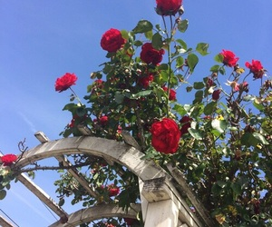 aesthetic, red, and rose image