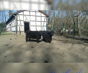 animals, cow, and zoo image