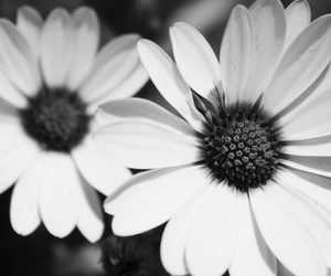 beautiful, flower, and black image