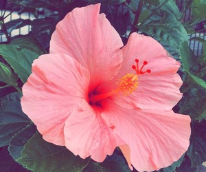 flowers, hibiscus, and pink image