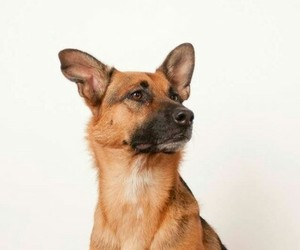 animals, dogs, and german shepherd image