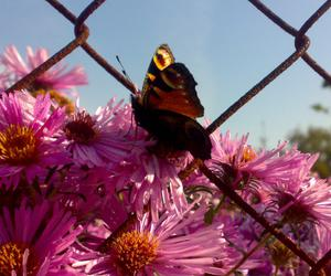 butterfly, summer, and pink image