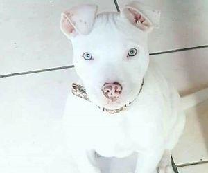 pitbull, puppy, and white image