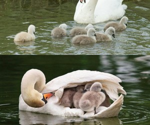 Swan and animals image