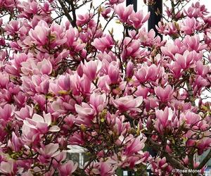 garden, magnolia, and nature image