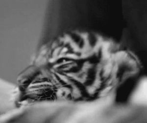 baby animals, wild cats, and cute image