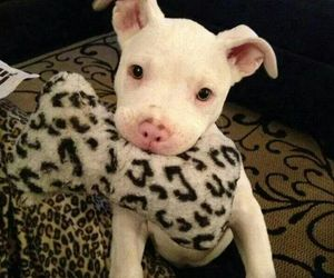pitbull, puppy, and cute image