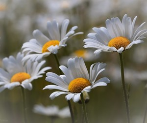 daisy, flowers, and wallpapers image