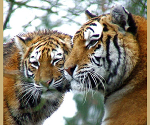 cat, cub, and tiger image
