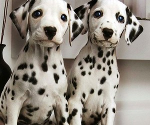 dog, dalmatian, and puppy image