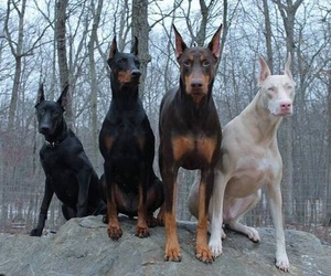 dog, doberman, and animal image