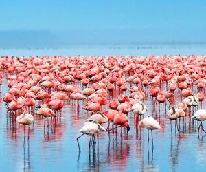flamingos and Kenya image