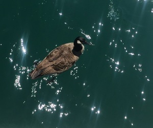 canada, goose, and navy pier image