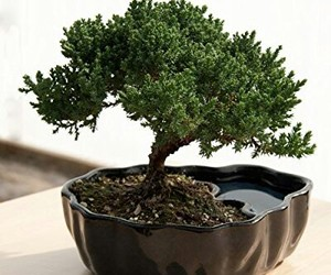 beautiful, juniper bonsai tree, and nature image