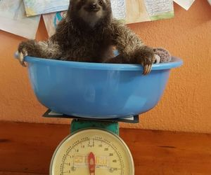 sloth, sloths, and not opossum image