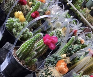 cacti, cactus, and colors image