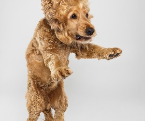 animals, cocker spaniel, and dogs image