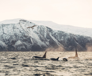 orca, ice, and killer whale image