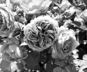 flower, roses, and white image