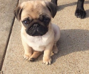 adorable, little, and pugs image