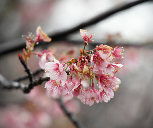 cherry blossom, flower, and japan image