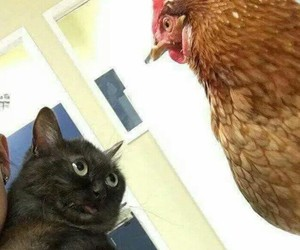 cat chicken funny animals image