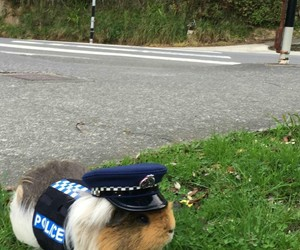 animal, guinea pig, and police image