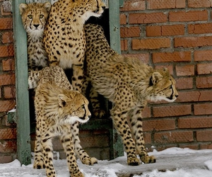 cheetah, animal, and snow image