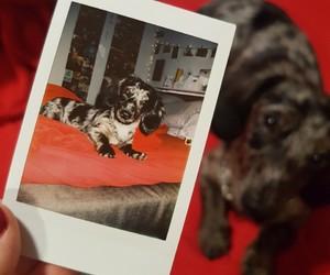 dachshund, dackel, and dog image