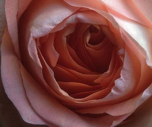 flower, texture, and rose image