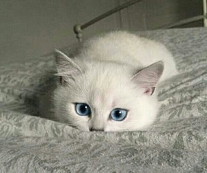 blue eyes, cat, and cute image