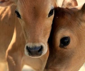 calves and friends image