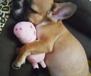dog, puppy, and french bulldog image