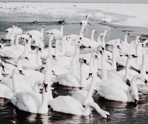 Swan, theme, and white image