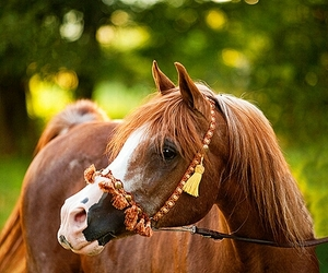 arabian and horse image