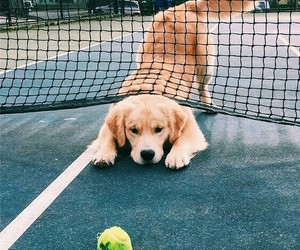 dog, golden retriever, and puppy image