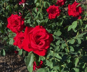 dark, flowers, and red rose image