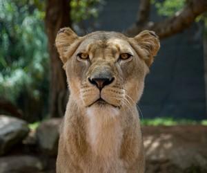 lion nature savage image
