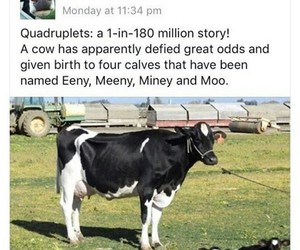 funny, animal, and cow image