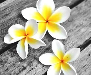 flowers, beautiful, and frangipani image