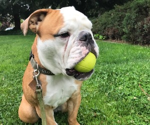 animals, bulldog, and dogs image