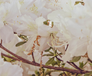 azalea, blooms, and flowers image