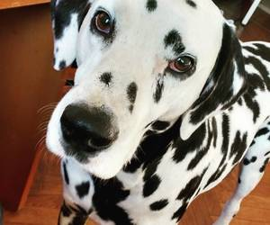 dalmatian, dog, and mine image