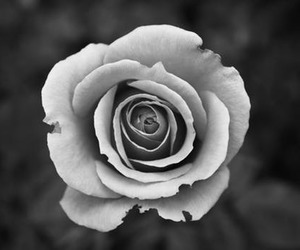 petals, love, and black-and-white image