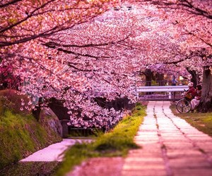 cherry blossom, japan, and kyoto image