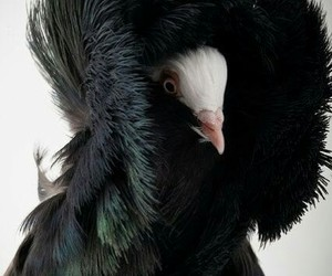 bird, dove, and pigeon image